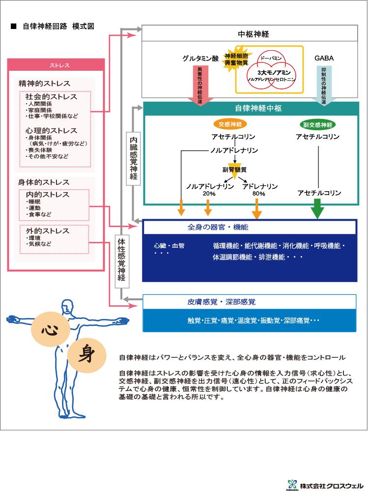 自律神経回路模式図