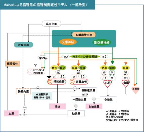 Mulderによる循環系の制御定性モデル(一部改変)